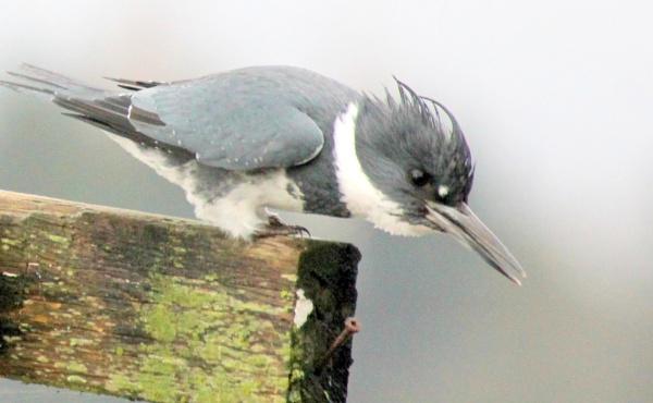 Kingfisher Radar by tonyguitar