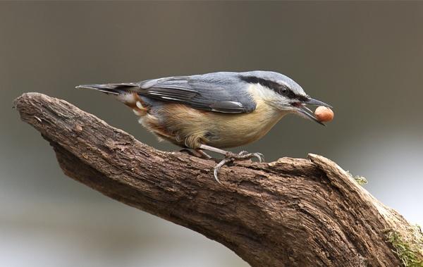 A nuthatch with a nut by Alan62