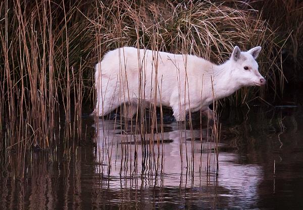White Seka Deer in Pond by Alan62