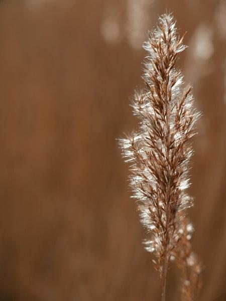 reeds by cfreeman