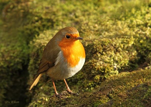 Winter sunshine on this lovely little bird. by Pixelliott