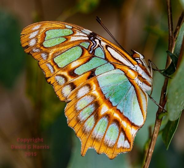 Malachite Butterfly by Beardedwonder2009