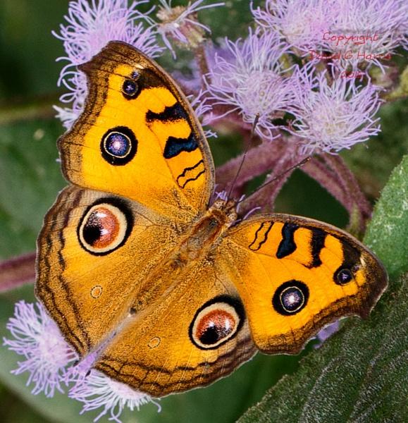 Peacock Pansy Butterfly by Beardedwonder2009