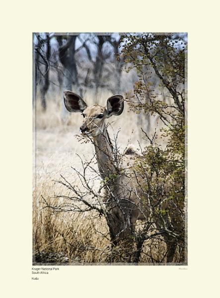 Kudu by Pentaphobian
