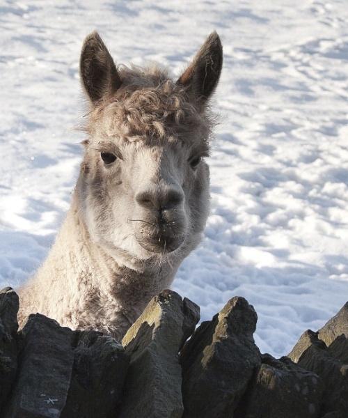 Alfie the Alpaca by Glynstrong