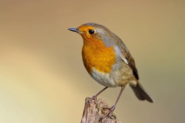 Robin (Erithacus rubecula) by DerekL
