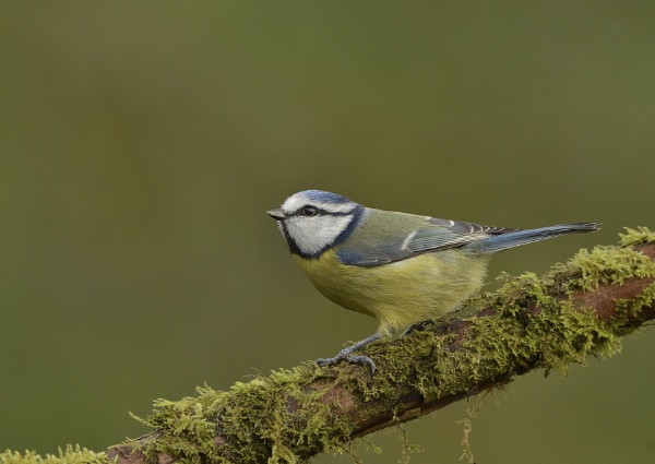 Blue Tit by KBan
