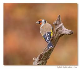 November Goldfinch on Stick