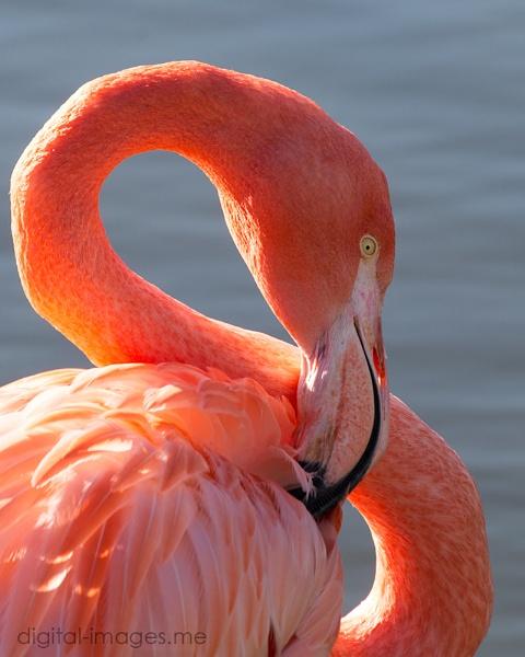 Flamingo by Alan_Baseley