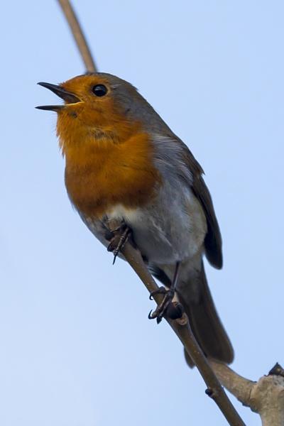 Robin by rogharrison