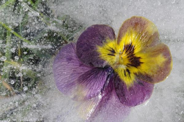 Frozen Pansy by bobtl