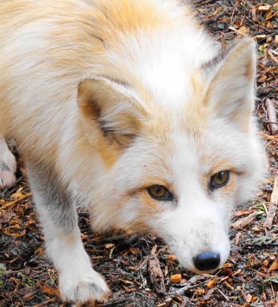 foxy by christinecilia