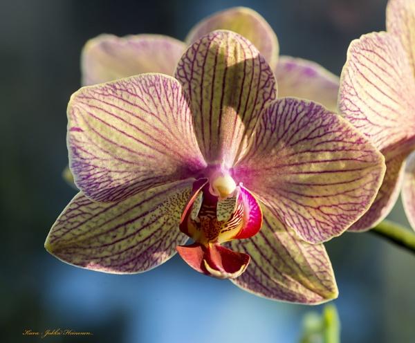 Phaleanopsis. by kuvailija