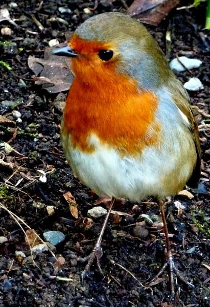 Little Red Robin by netta1234
