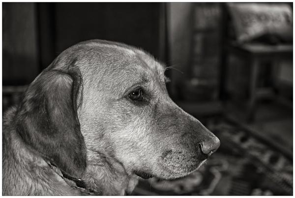 Chloe my labrador by Stevecarr2010