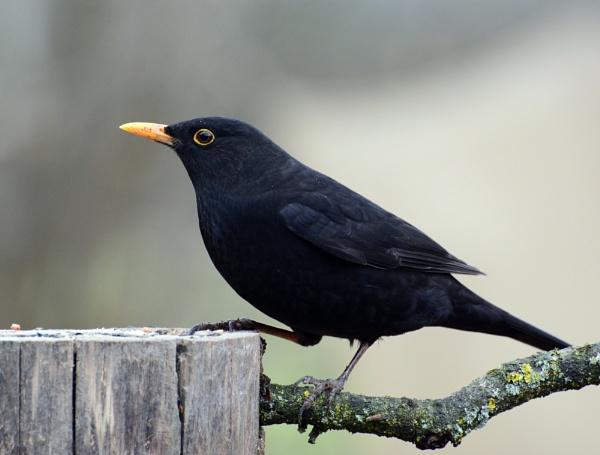 Blackbird by Holmewood