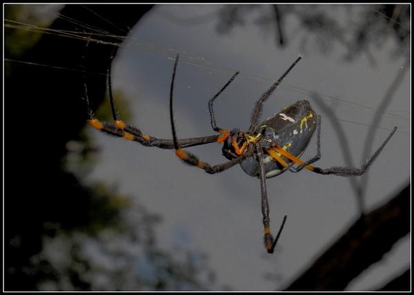 Golden Orb Weaver Spider by johnke
