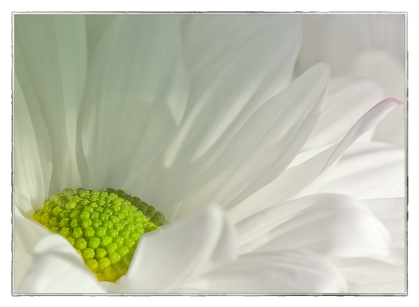 A Daisy by taggart