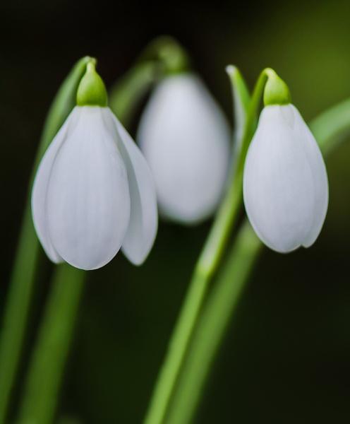 Galanthus nivalis var. S Arnott by flowerpower59