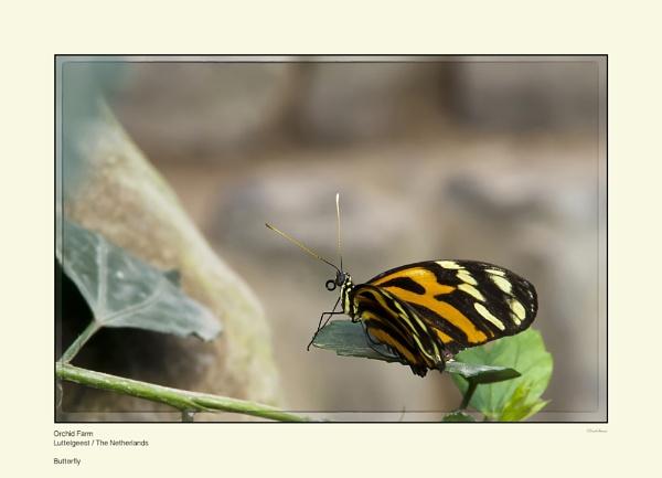 Butterfly by Pentaphobian