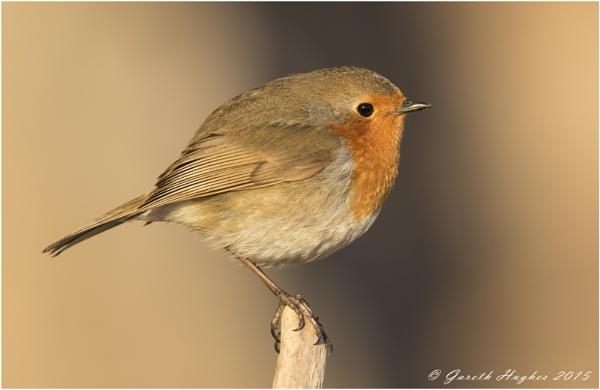 Robin by GarethH