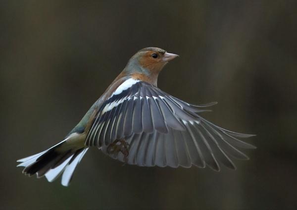 Male Chaffinch In Flight by NeilSchofield