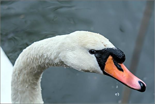 Mute Swan by delboy85