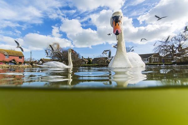Swans by sitan1
