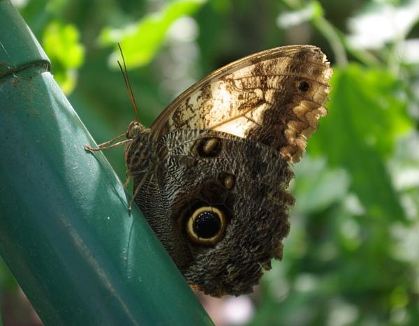 Owl Butterfly by telstar500