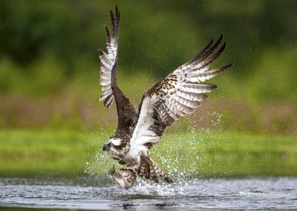 Wild Osprey in Scotland by nikonworld