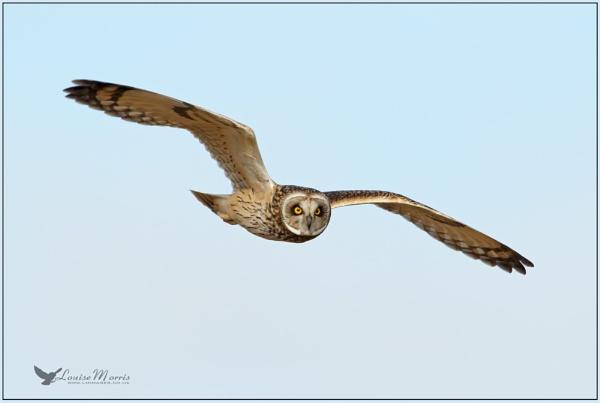 Short Eared Owl by Louise_Morris