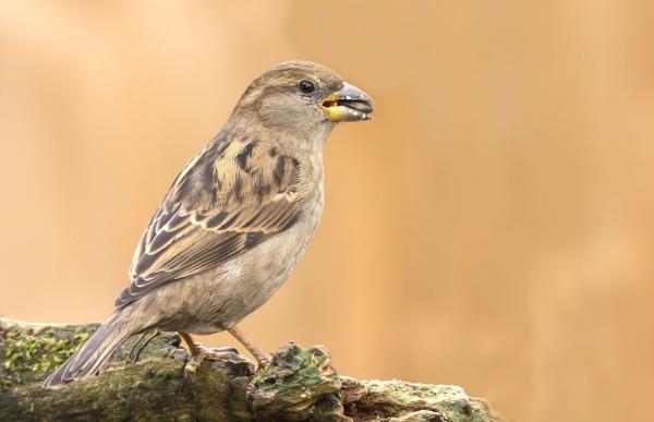 Female Sparrow by ali63