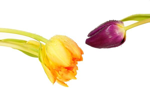 tulips by YNOR