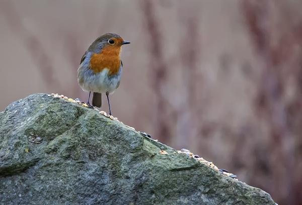 Rock\'n Robin by HUFC