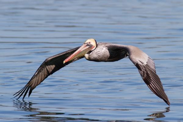 Pelican by nobby1