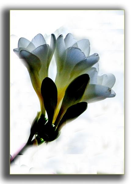 White Freesias by Mavis