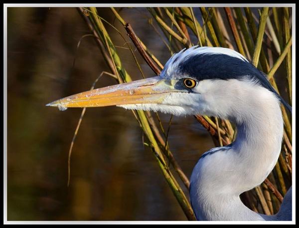Heron Head by davet2