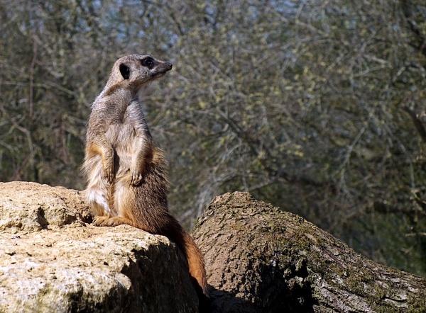 Meerkat 1 by pamelajean