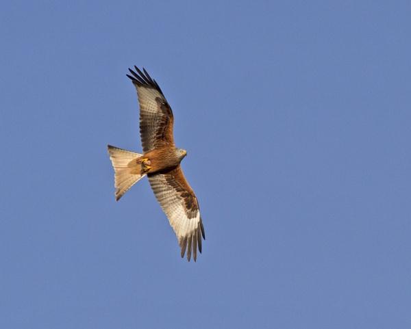 Red Kite by lawbert