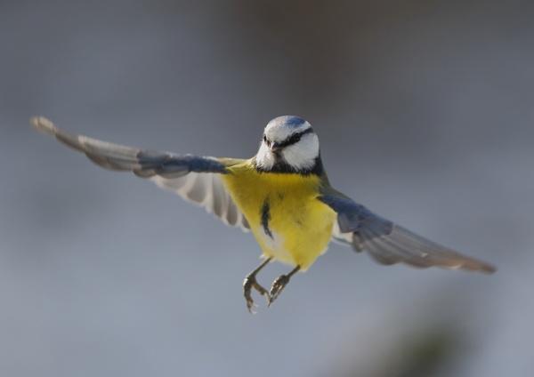 Blue Tits in Flight by NeilSchofield