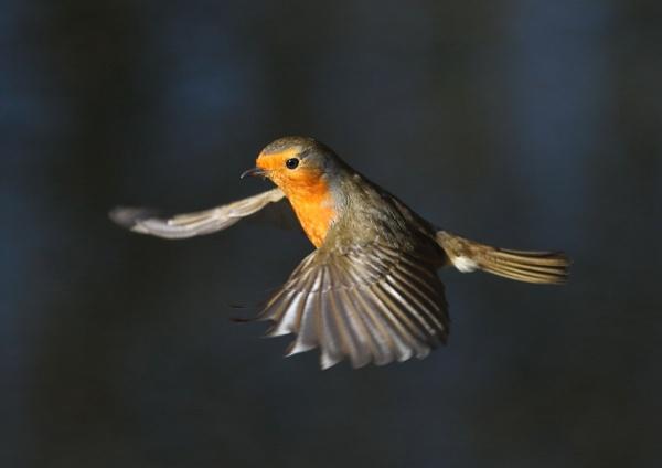 Robins in Flight by NeilSchofield