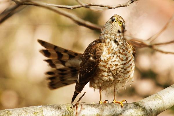 Eurasian sparrowhawk Accipiter nisus by zmecanin