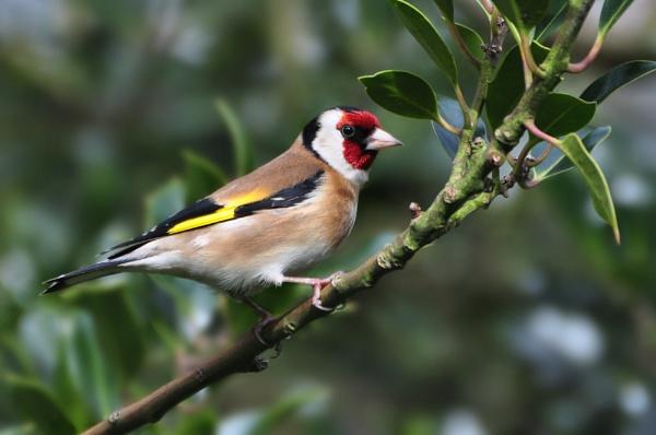 Goldfinch by Jenny-D