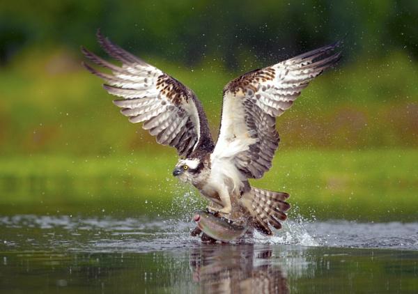 Osprey in flight by nikonworld