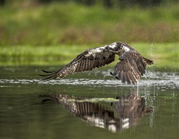 Osprey in flight 2 by nikonworld