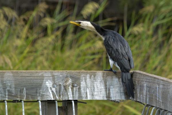 Black water bird( Cormorants) by Ayoob
