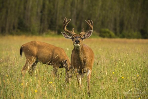 Black Tail Deer, Port Alberni, BC, Canada by RamblerPhotography