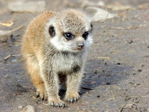 Meerkat baby by kathrynlouise