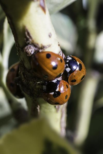 Ladybug Huddle by AdeDavis