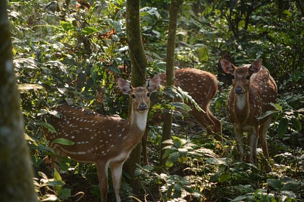 Wild Chital Deer,  Nepal. by UrbaneMagick